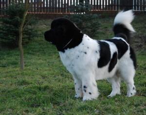 Ньюфаундленд собака фото