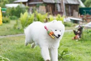 Порода собак лайка самоед