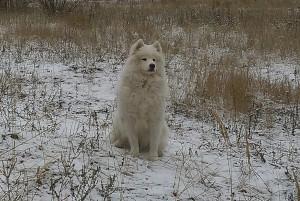 Собака породы самоед фото