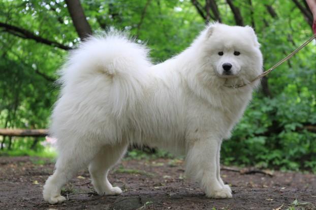 Стандарт самоедской собаки фото
