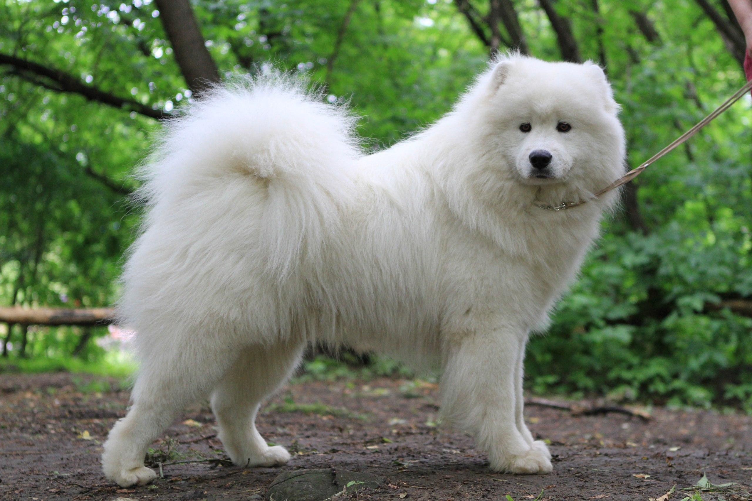 породы и цена собак фото