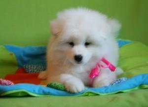 Фото щенка самоеда 2.5 месяца