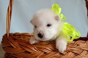 Щенок самоедской собаки фото