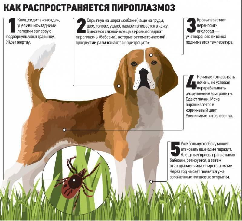 Пироплазмоз у собак симптомы и лечение