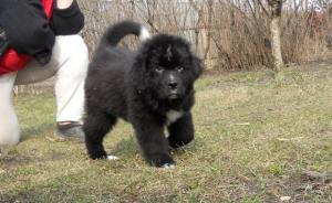 Питомники ньюфаундлендов - где купить щенка