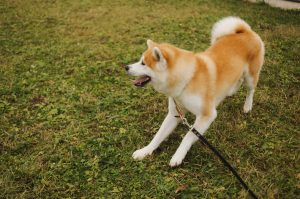 Порода собак японский акита фото
