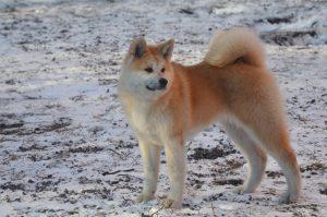 Порода собак японский акита
