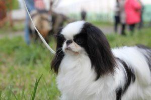 Порода собак японский хин фото