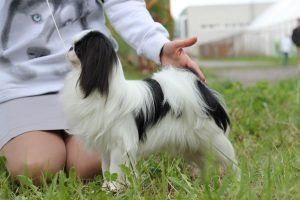 Японская порода маленьких собак - фото Японского хина