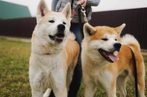 Японская порода собак Акита-ину фото