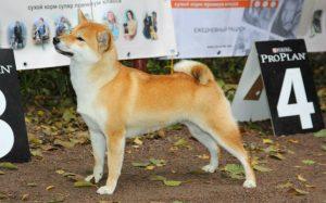 Японская порода собак шиба фото