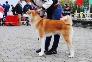 Японские породы собак с фотографиями - Акита-ину