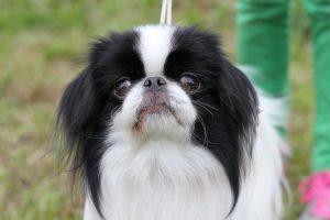 Японские породы собак с фотографиями - Японских хин