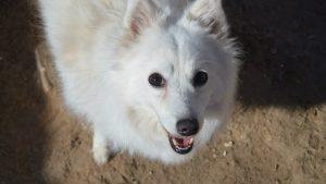Японские породы собак фото с названиями - Японский шпиц
