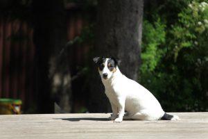 Английские породы собак - Джек-рассел-терьер фото