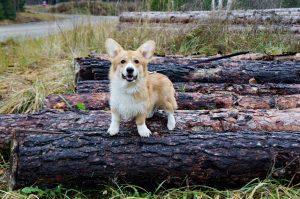 Английские породы собак - фото Вельш-корги пемброк