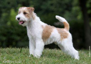Английские породы собак - фото Джек-рассел-терьера