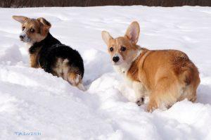 Английские породы собак фото с названиями - Вельш-корги пемброк
