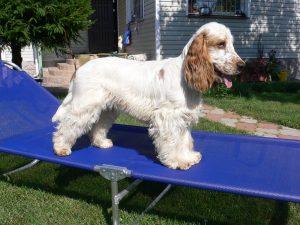 Порода собак английский кокер спаниель - фото