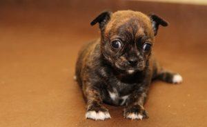 Сколько стоит щенок чихуахуа- цена