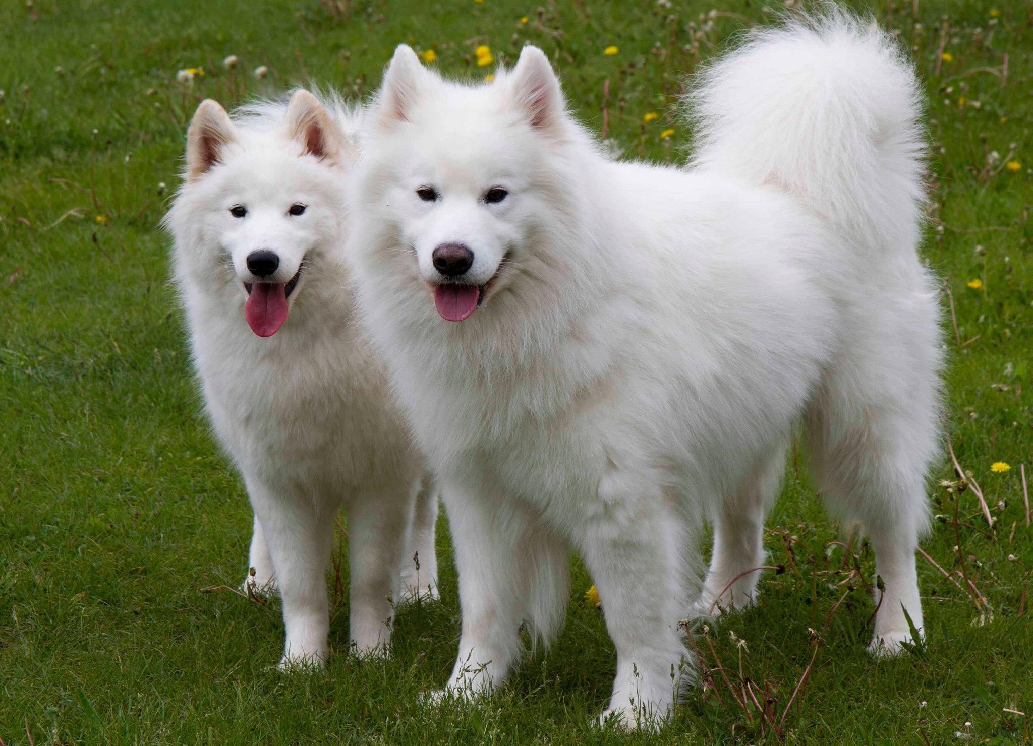 породы сибирских собак