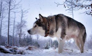 Северные породы собак с фотографиями и названиями
