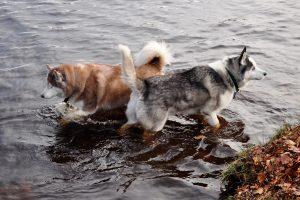 Северные породы собак - фото породы сибирский хаски