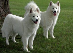 Северные собаки - порода Самоед