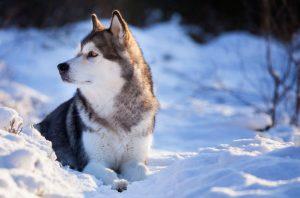 Аляскинский маламут - фото порожей на волка собаки
