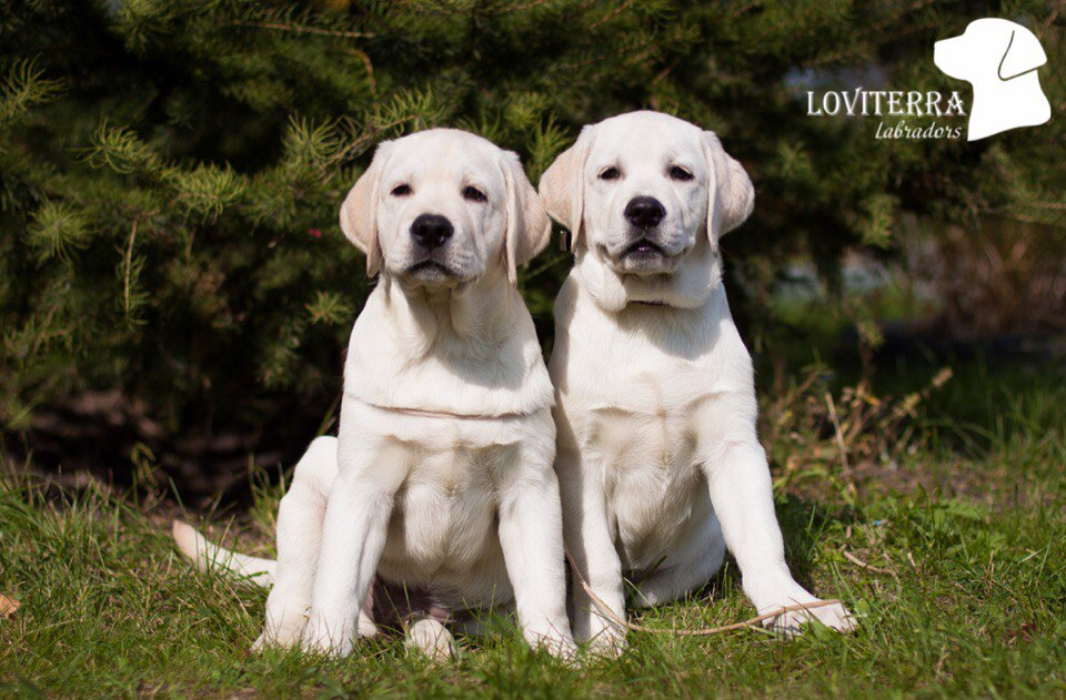 фото лабрадора щенка белого