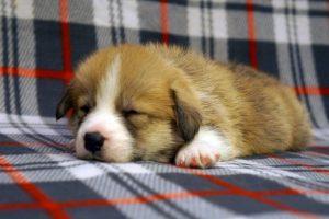 Вельш корги пемброк фото щенки