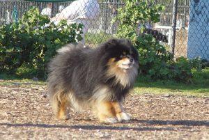 Маленькие пушистые собаки - померанский шпиц фото