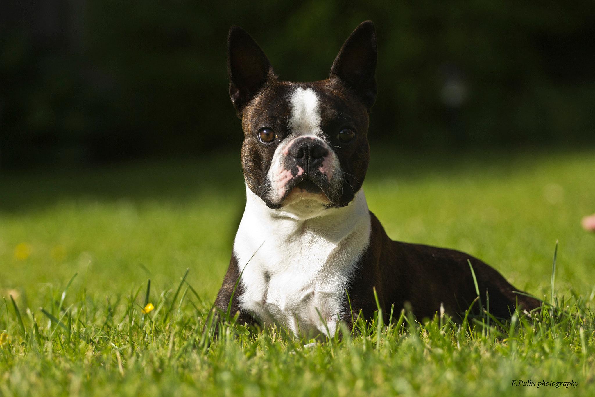 гладкошерстные средние породы собак