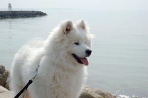 Порода большой белой пушистой собаки - Самоед