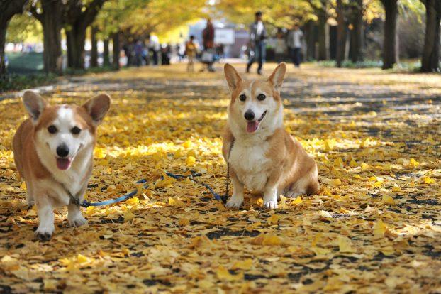 Порода собак вельш корги пемброк фото