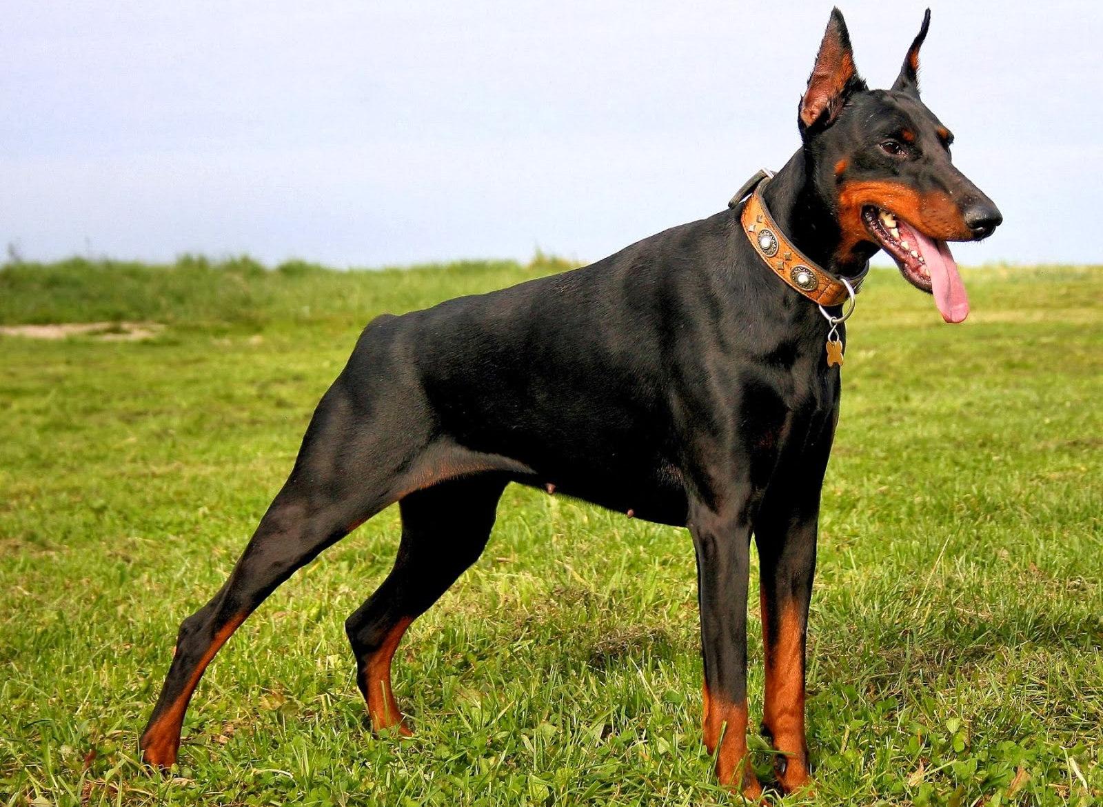 большие гладкошерстные собаки фото