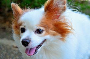Породы пушистых собак с фотографиями - Папильон