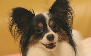 Породы собак с большими ушами