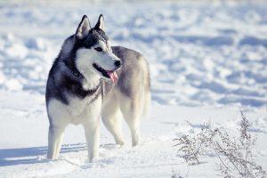 Похожая на волка порода собак - Сибирский хаски