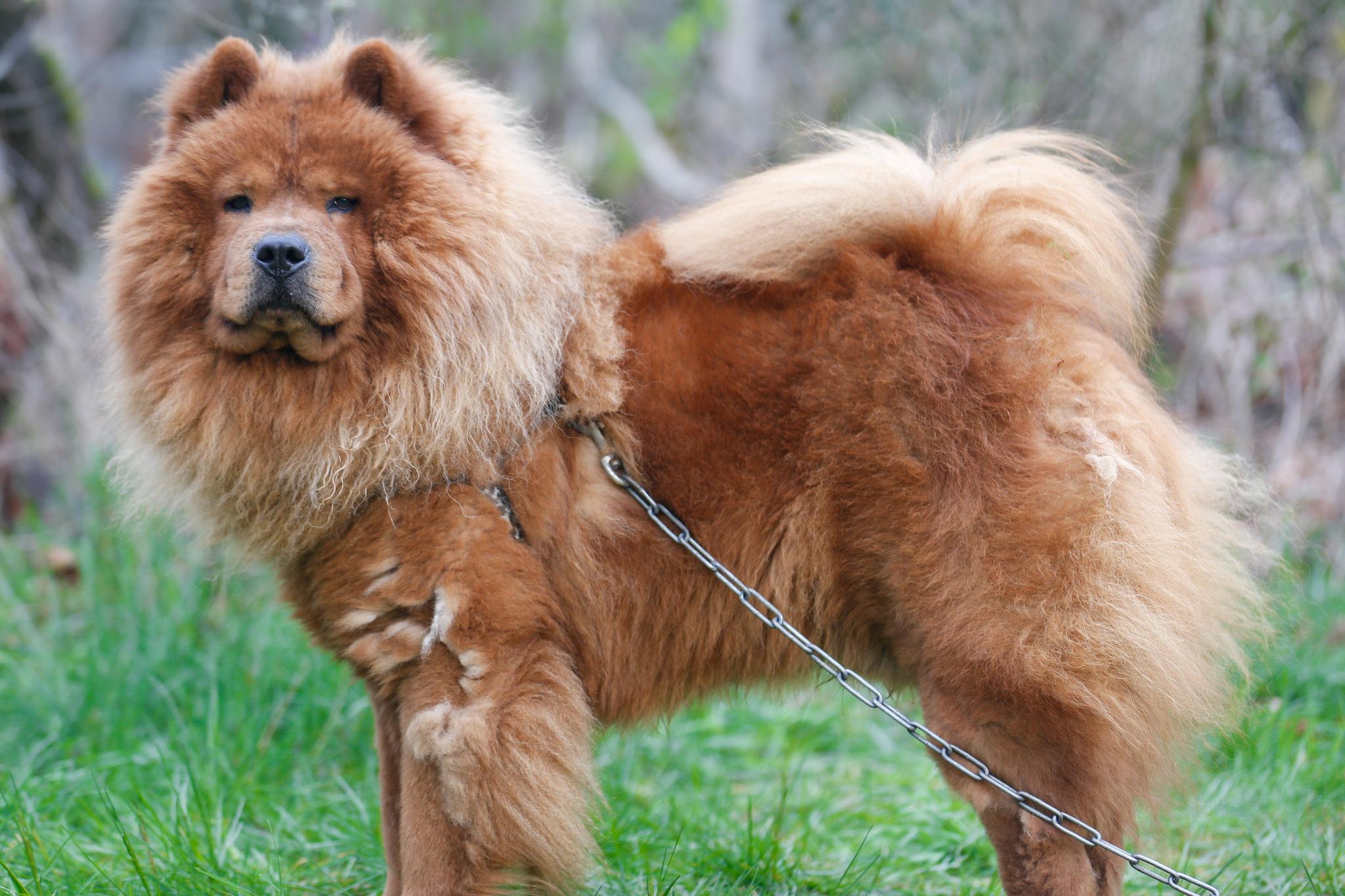 самая пушистая порода собак