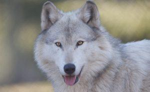 Собака-волк и похожие на волка породы