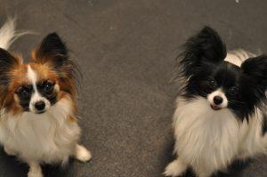 Собака маленькая пушистая - порода Папильон фото