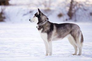 Собака похожая на волка - сибирский хаски