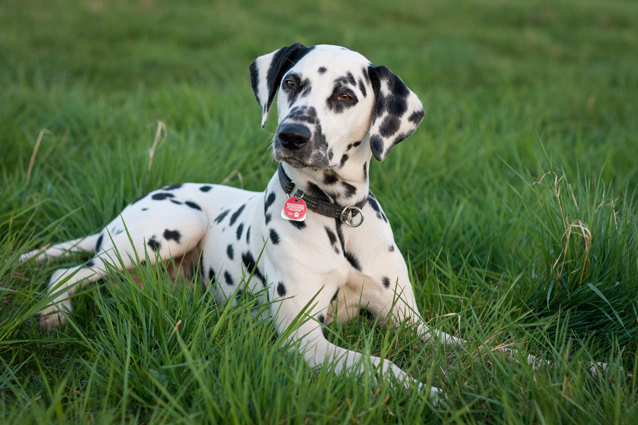 Картинки с собаками далматинцы