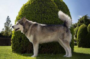 Фото аляскинского маламута - похожей на волка породы собак