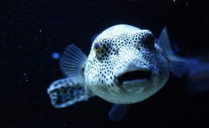 Аквариумная рыбка-собака