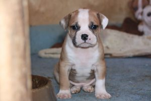 Американский бульдог - фото щенка