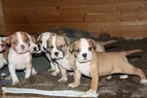 Американский бульдог фото щенки