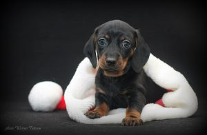 Красивые фото щенков такс