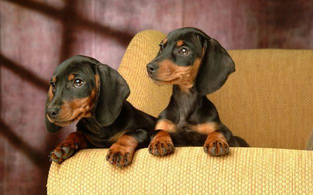 такса фото собак